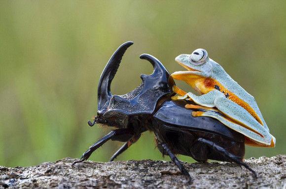 カブトムシに乗るカエル9