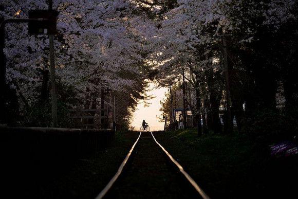 日本の桜13