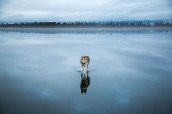 氷の上を歩くシベリアンハスキー8