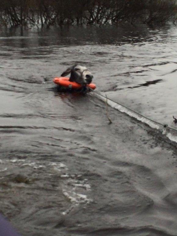 洪水から救出されたロバ3