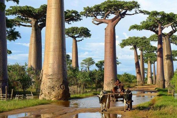 地球上でもっとも凄い木17