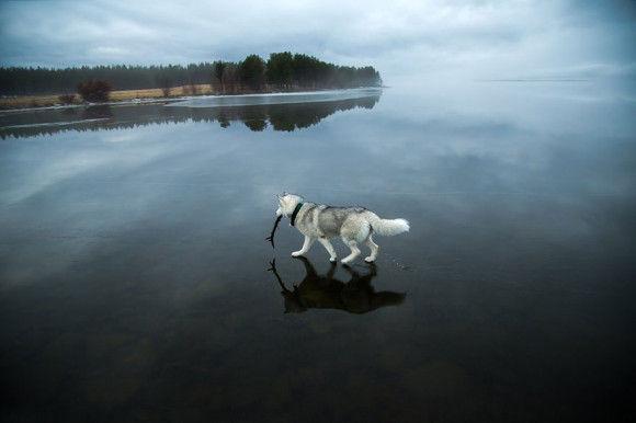 氷の上を歩くシベリアンハスキー5