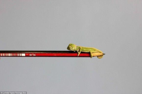 鉛筆に乗るカメレオン