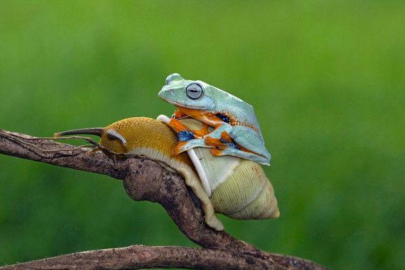 カタツムリの背中に乗ったカエル3