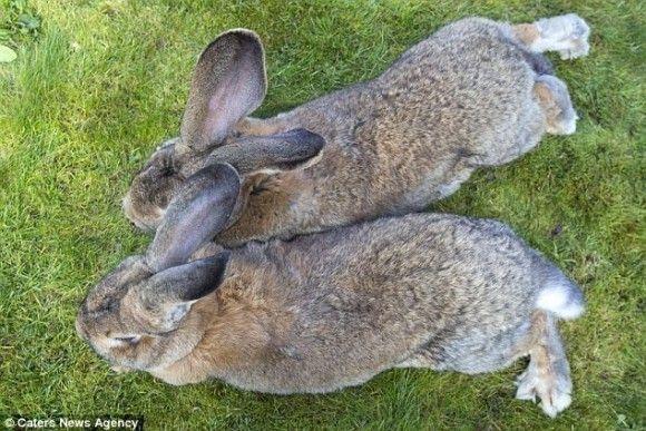 世界一大きいウサギ6