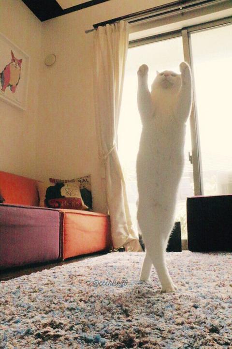 バレエを踊る猫1