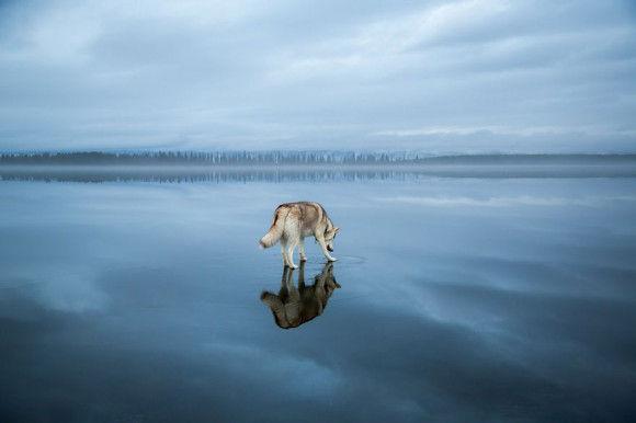 氷の上を歩くシベリアンハスキー4