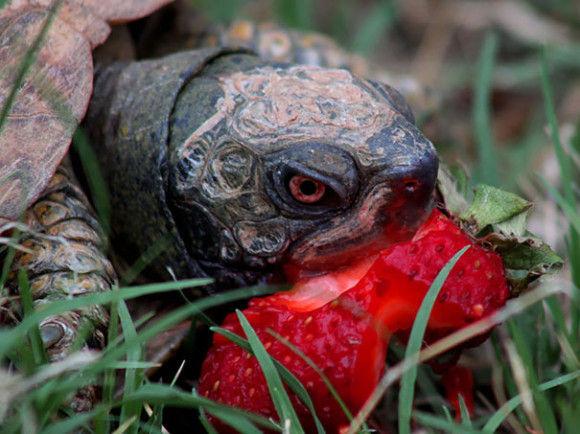 【画像】グロすぎる!果実を食べている動物がヤバい!