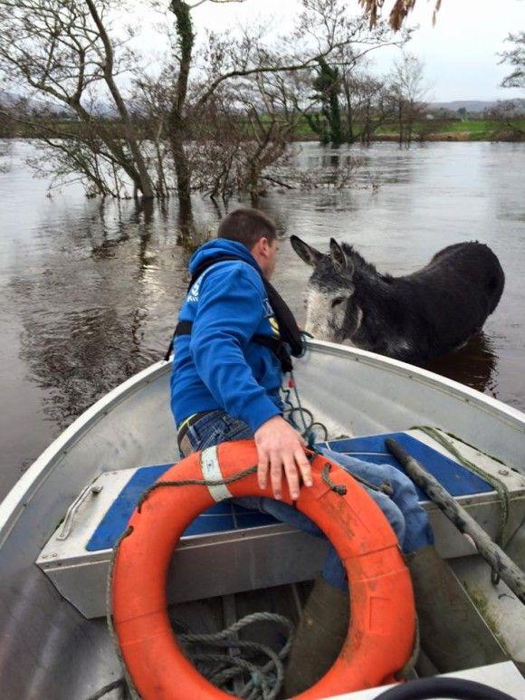 洪水から救出されたロバ2