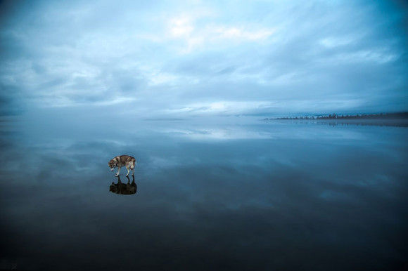 氷の上を歩くシベリアンハスキー2