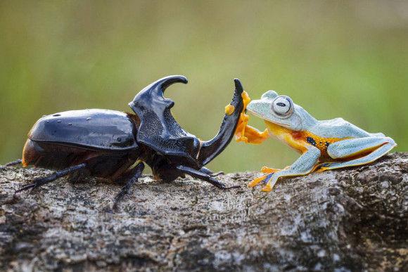 カブトムシに乗るカエル5