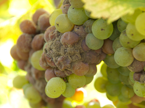 noble_rot_grapes