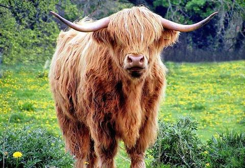 Escocia-Vaca-escocesa