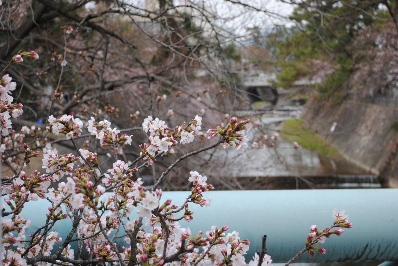 夙川の桜-1