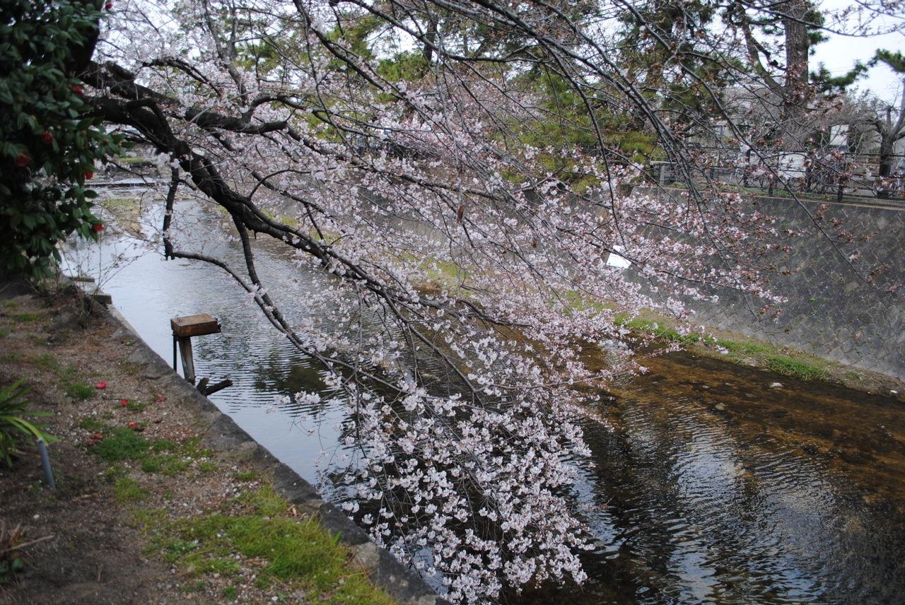 夙川の桜-7