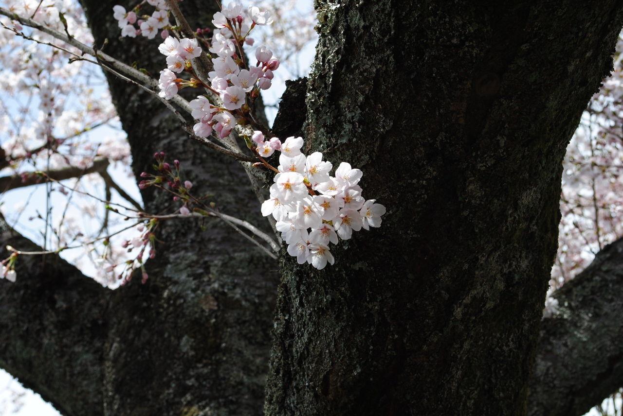 桜満開-3