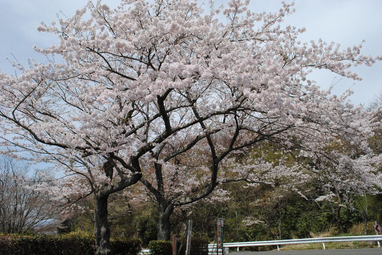 桜満開-1