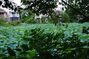 桃ヶ池の蓮