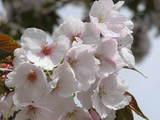 20050430比叡山の桜