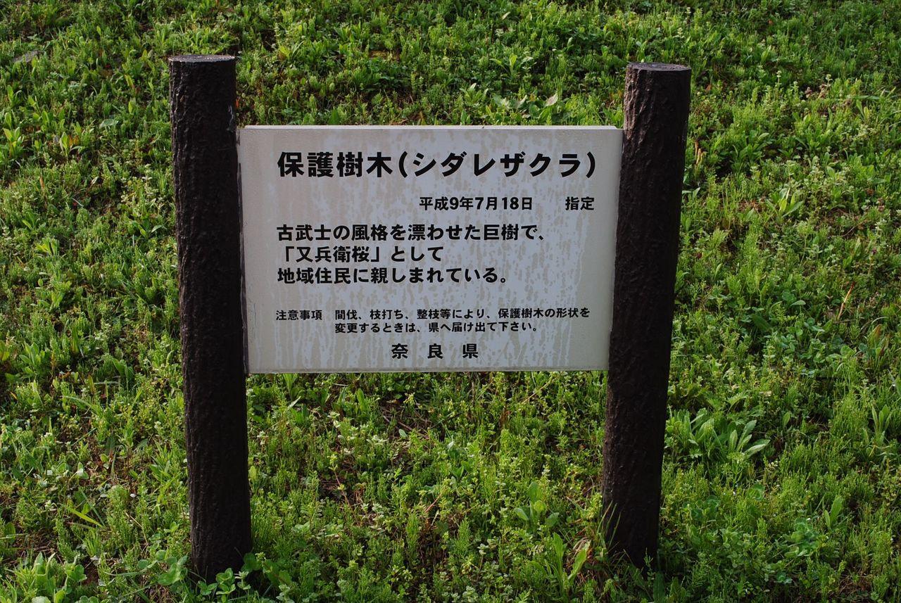 又兵衛桜は奈良県保護樹木