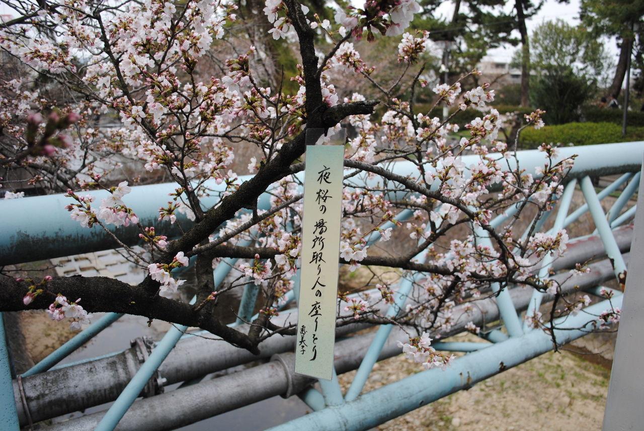夙川の桜-3