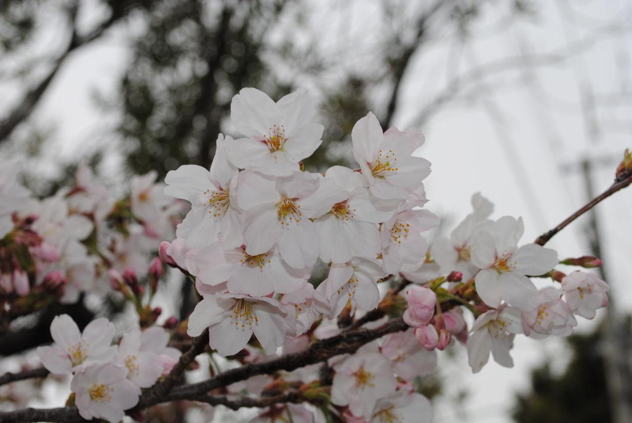 夙川の桜-2