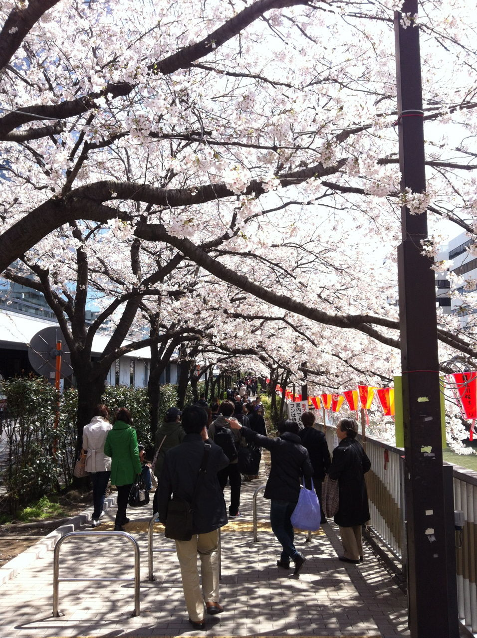 目黒川沿いのソメイヨシノの遊歩道