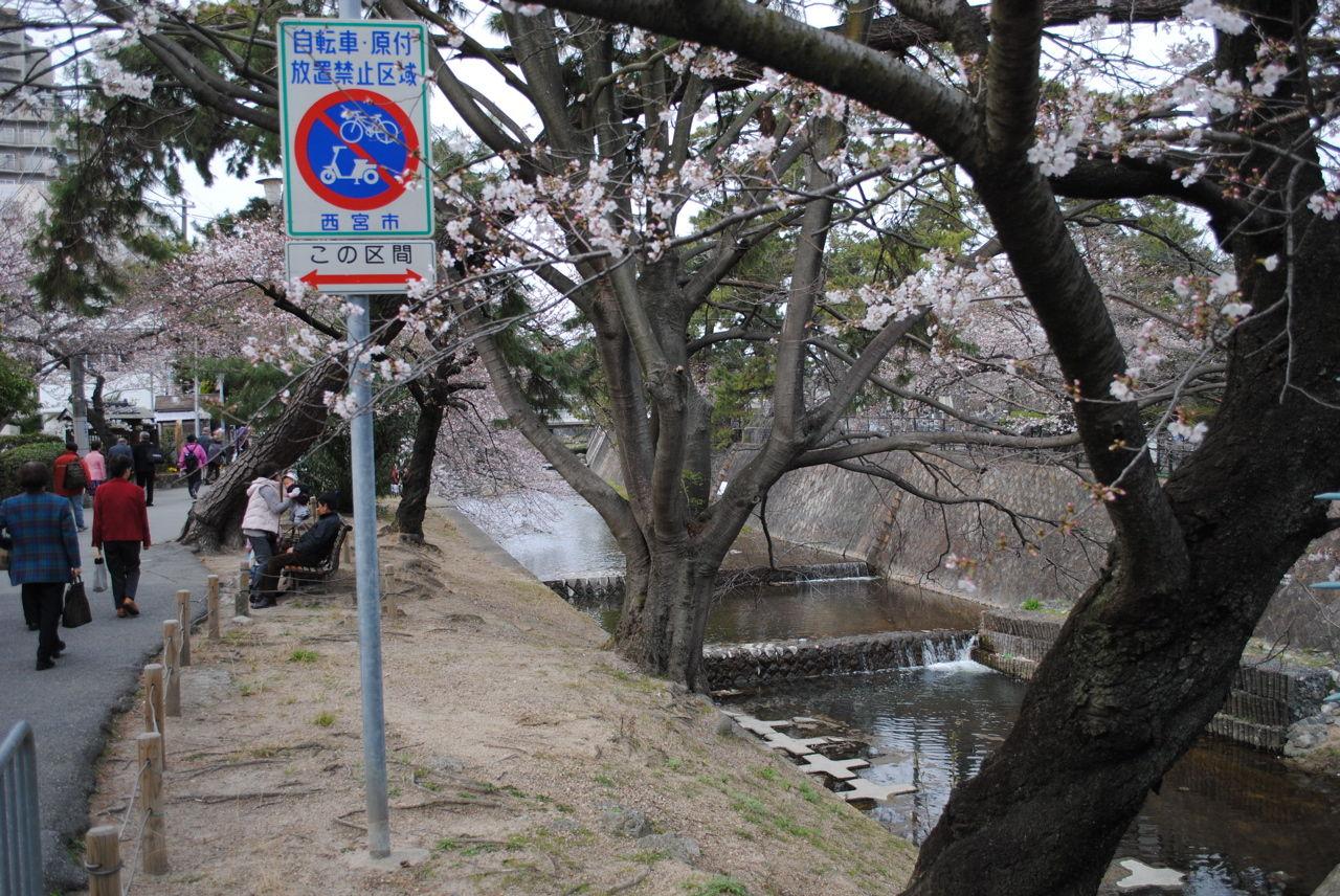 夙川の桜-5