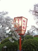 20120410京都円山公園の桜