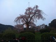 20120410京都円山公園枝垂れ桜