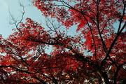 高雄の紅葉