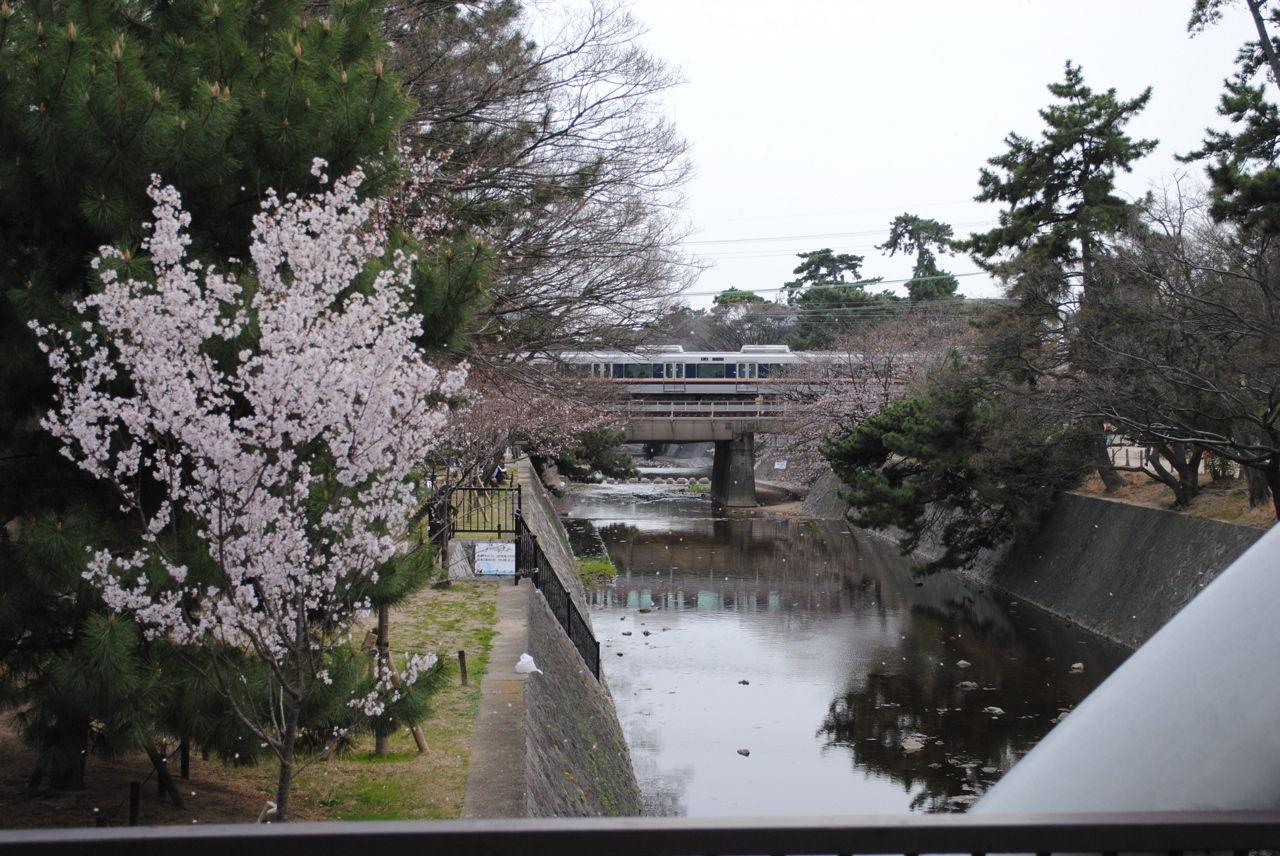 夙川の桜-4
