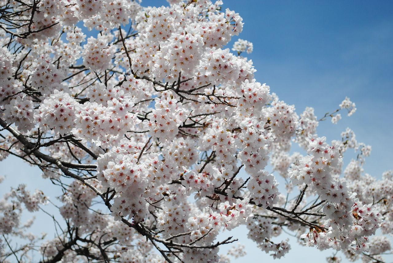 桜満開-2