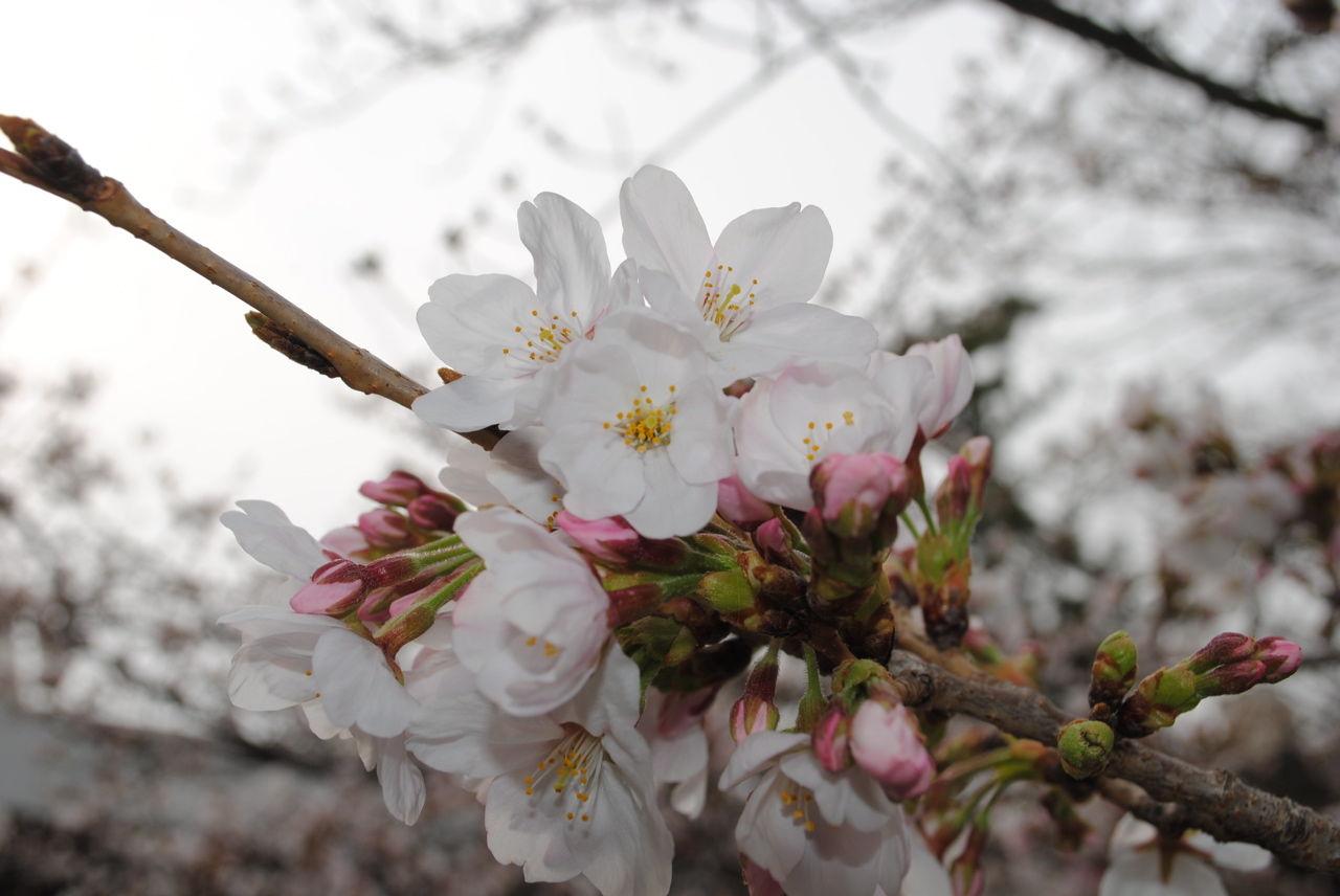 夙川の桜-6