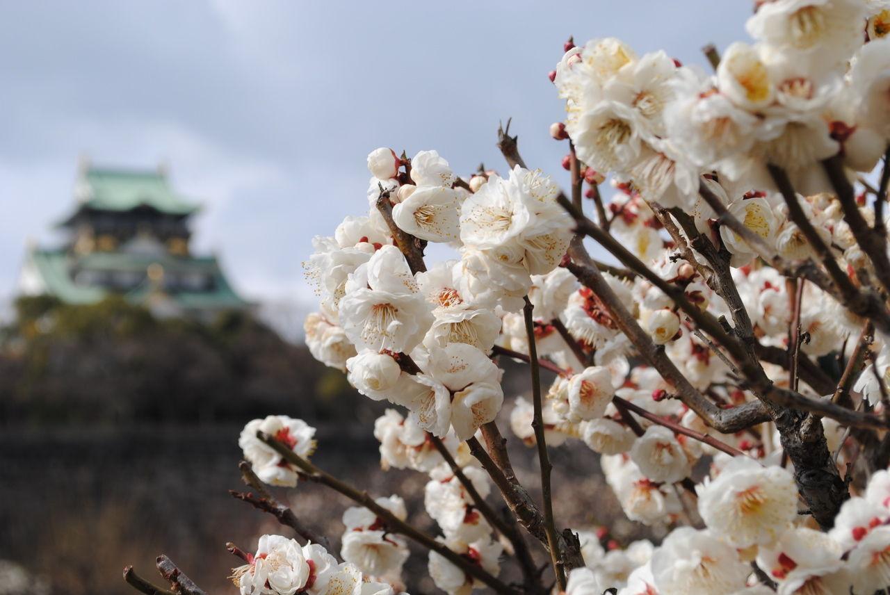 大阪城は梅の香りが一杯