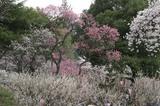上田城桜その2