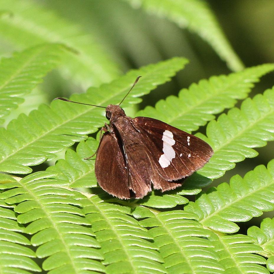 クロセセリ 南国(?)の蝶 : 今日...