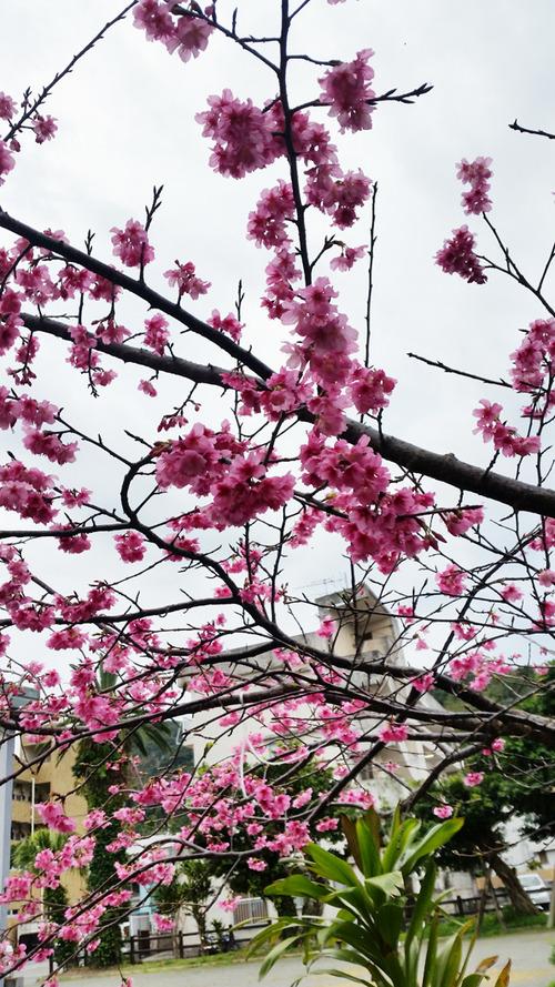 ひかん桜20170205_080521