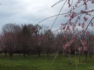 塵芥処理場の桜