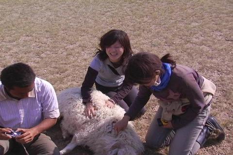 GC・羊はふかふかしている