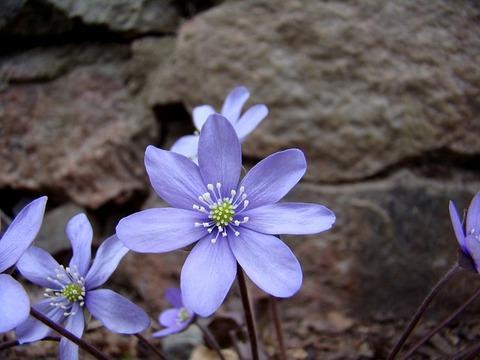 blue-anemone-703176_640
