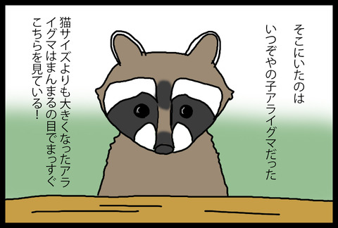 raccoon2-3