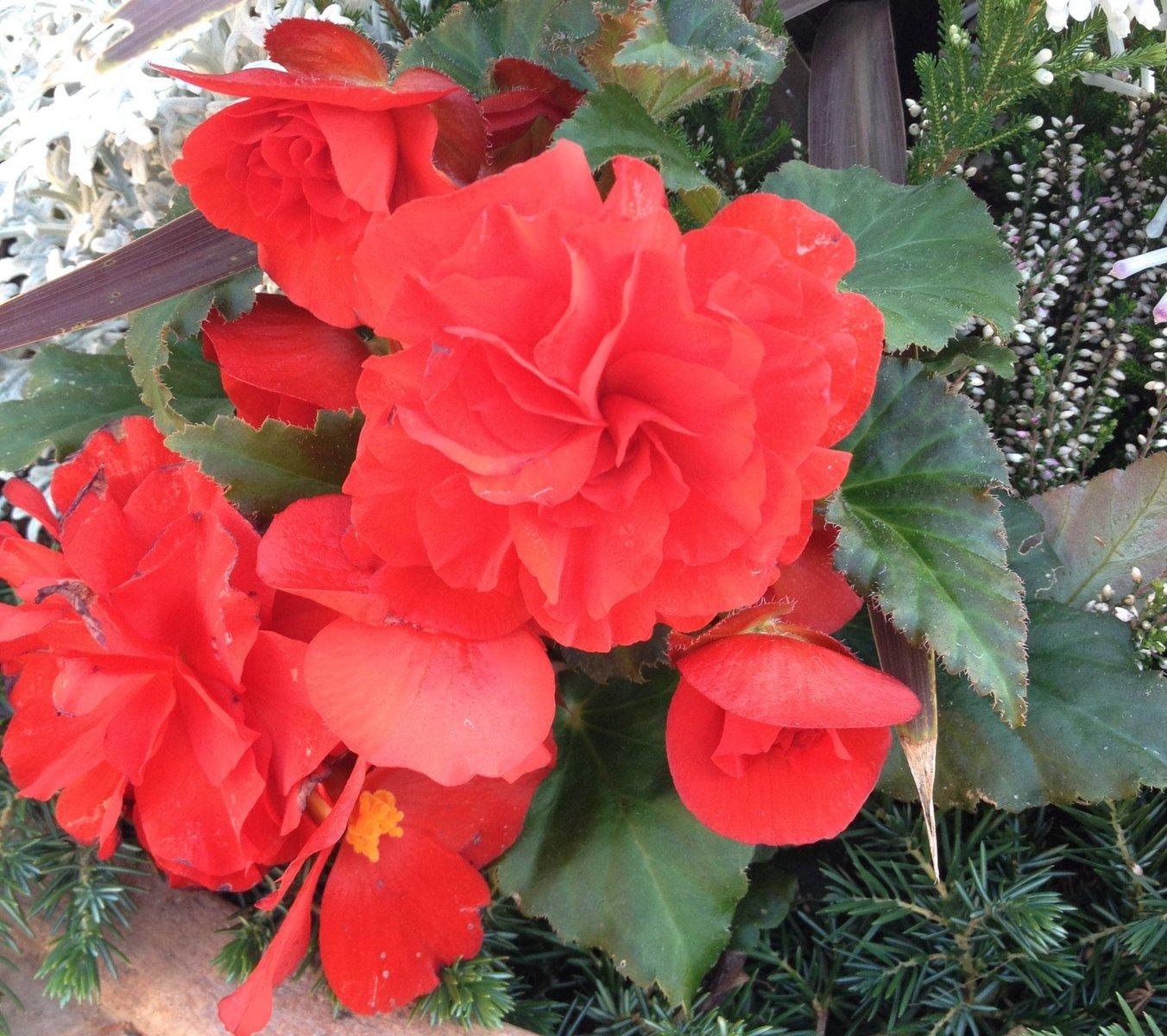 言葉 ベゴニア 花 ベゴニアの花言葉|花の種類や季節、開花時期は?