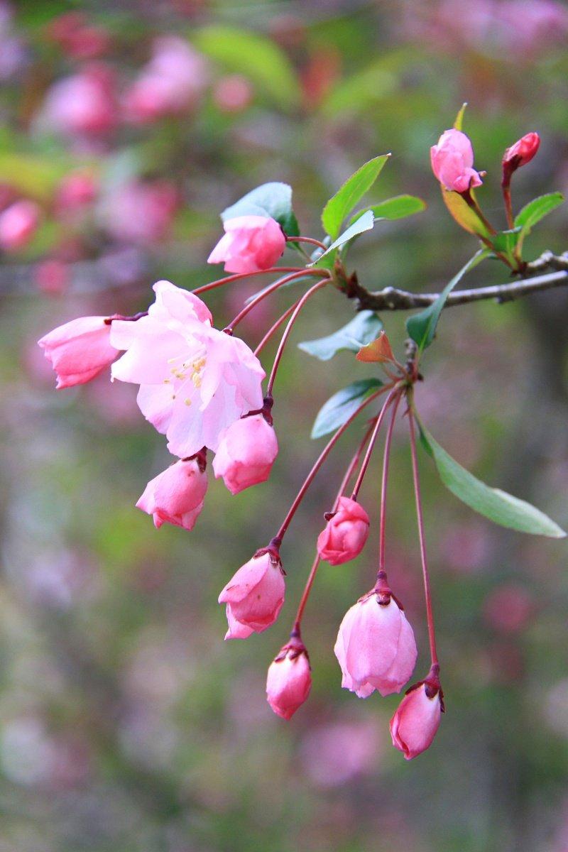 ハナカイドウ (花海棠) 花言葉・誕生花