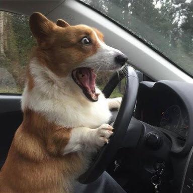 イッヌ「車運転したろ!w」