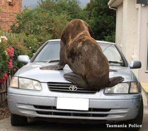 【米国】200kgのアザラシがトヨタ車のボンネットの上で昼寝した結果www