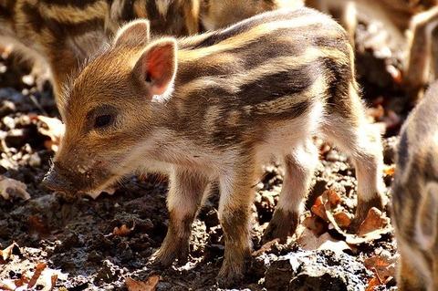wild-pigs-3279483_640