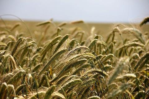 wheat-196173_640