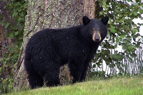 black-bear-50293_640