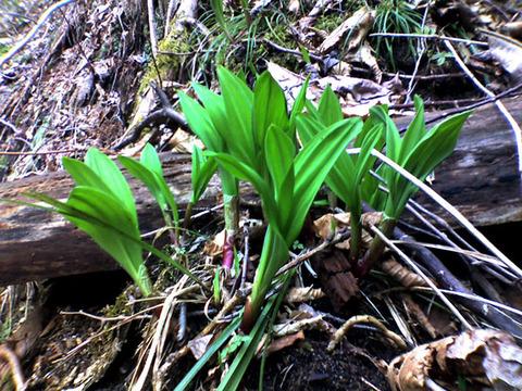Allium_ochotense,_Hokkaido_Japan_K3100010